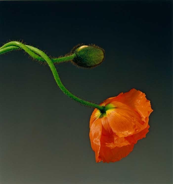 Robert Mapplethorpe, Poppy, 1988